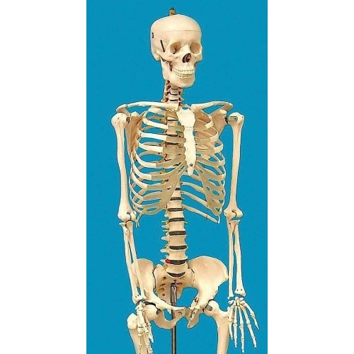 LIFE SIZED HUMAN SKELETON MODEL