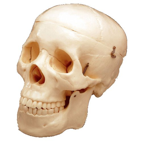 ANATOMICAL PLASTIC SKULL