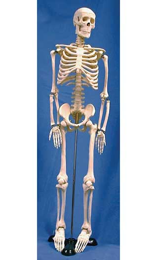 "ARTICULATED 33"" PLASTIC SKELETON"