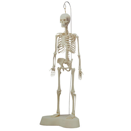 """14"""" TALL MODEL SKELETON WITH STAND"""