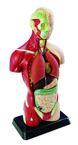 HUMAN TORSO MODEL WITH REMOVABLE ORGANS