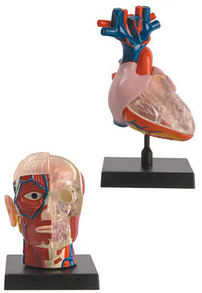 BREAKAWAY ANATOMICAL SKULL-BRAIN MODEL