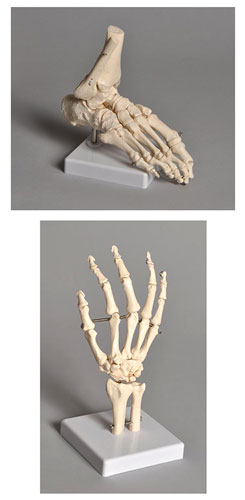 RIGHT FOOT SKELETAL MODEL